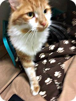 Domestic Mediumhair Cat for adoption in Flint, Michigan - Brody