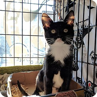 Domestic Shorthair Kitten for adoption in Philadelphia, Pennsylvania - Tinker Bell