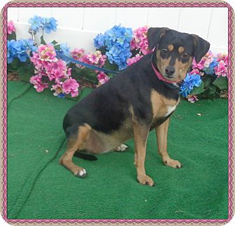Beagle/Manchester Terrier Mix Dog for adoption in Marietta, Georgia - SHELBY - Rescued from off-site