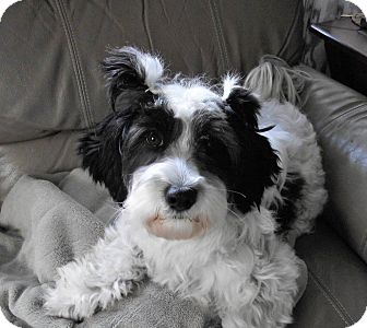 Havanese Mix Dog for adoption in Wethersfield, Connecticut - Chickie