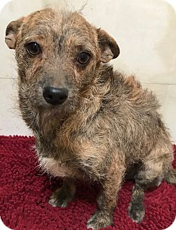Wirehaired Fox Terrier/Chihuahua Mix Dog for adoption in Tucson, Arizona - Chinina