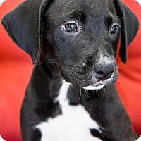 Adopt A Pet :: Little Ginny - Miami, FL