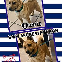 Adopt A Pet :: Rumple - Las Vegas, NV