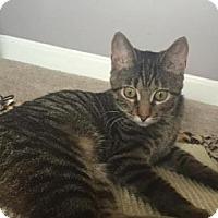 Adopt A Pet :: Miley - LaGrange Park, IL