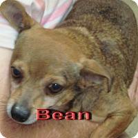 Adopt A Pet :: Bean - Coleman, TX
