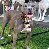 Adopt A Pet :: Beebop - Atlanta, GA