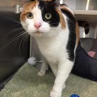 Adopt A Pet :: Piper - Peace Dale, RI