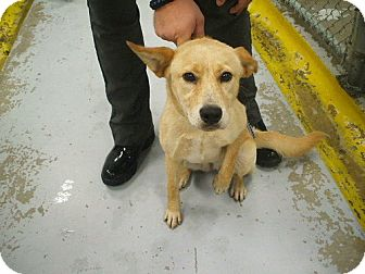 Shepherd (Unknown Type)/Labrador Retriever Mix Dog for adoption in Jersey City, New Jersey - Sandra Oh