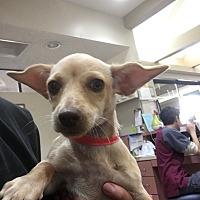 Adopt A Pet :: Ginger - Las Vegas, NV