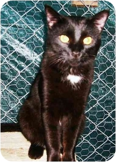 Domestic Shorthair Cat for adoption in Chilhowie, Virginia - snow flake