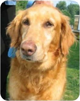 Golden Retriever Dog for adoption in Cleveland, Ohio - Abbi