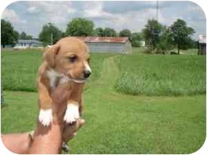 Terrier (Unknown Type, Medium) Mix Puppy for adoption in Lonedell, Missouri - Emry 2