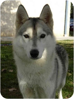 Husky Mix Dog for adoption in Nanuet, New York - Ava