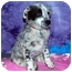 Photo 1 - Australian Cattle Dog/Australian Cattle Dog Mix Puppy for adoption in Broomfield, Colorado - Pearl S. Buck