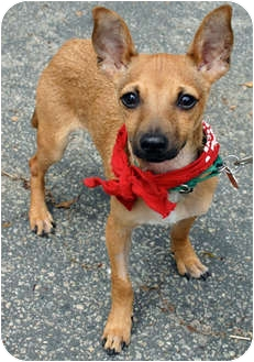Chihuahua Mix Puppy for adoption in Los Angeles, California - O'DOULE