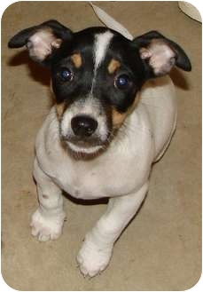 Jack Russell Terrier Mix Puppy for adoption in Factoryville, Pennsylvania - Farrah