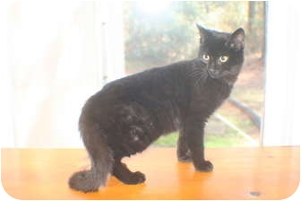 Domestic Shorthair Cat for adoption in Georgetown, South Carolina - Flipper