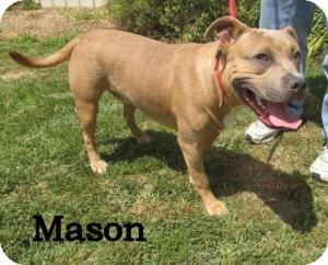 Pit Bull Terrier Mix Dog for adoption in Frankfort, Indiana - Mason