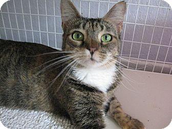 Domestic Shorthair Cat for adoption in Brea, California - AUDREY