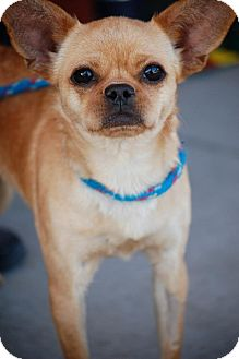 Chihuahua/Pug Mix Dog for adoption in Baton Rouge, Louisiana - Martini