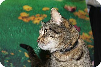 Domestic Shorthair Cat for adoption in HARRISONVILLE, Missouri - Poppy