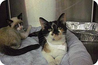 Domestic Shorthair Kitten for adoption in Miami, Florida - Hazel