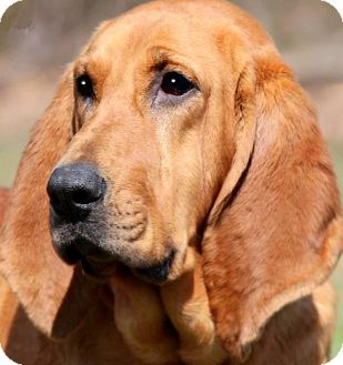 "Bloodhound Dog for adoption in Wakefield, Rhode Island - OLIVIA(""LOVE ME FACE""-AWWW!"
