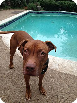American Staffordshire Terrier Mix Dog for adoption in Irving, Texas - Kobe