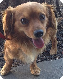 Spaniel (Unknown Type) Mix Dog for adoption in Encino, California - Big Boy