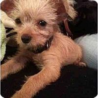 Adopt A Pet :: Snooki - Arlington, TX