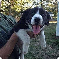 Adopt A Pet :: Charlie - Silsbee, TX