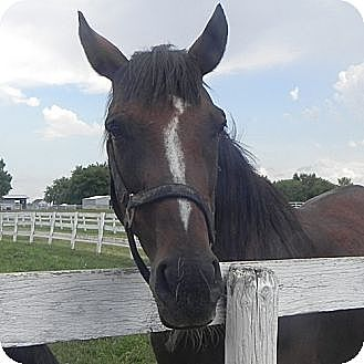 Thoroughbred for adoption in Woodstock, Illinois - Cassiopeia