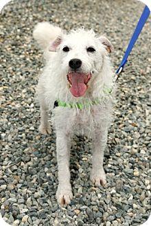 Jack Russell Terrier Mix Dog for adoption in Bellingham, Washington - Marsha