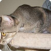 Adopt A Pet :: Sweetstuff - Dallas, TX