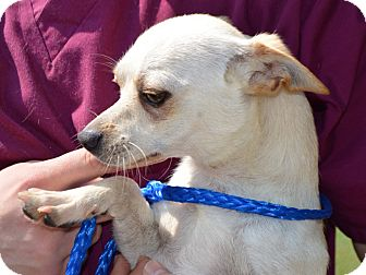 Chihuahua Mix Dog for adoption in Portsmouth, New Hampshire - Waylan