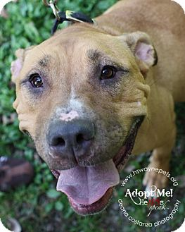 Labrador Retriever/Pit Bull Terrier Mix Dog for adoption in Lyons, New York - Maynard