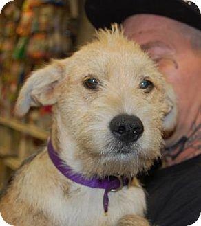 Schnauzer (Standard) Mix Puppy for adoption in Brooklyn, New York - Punky