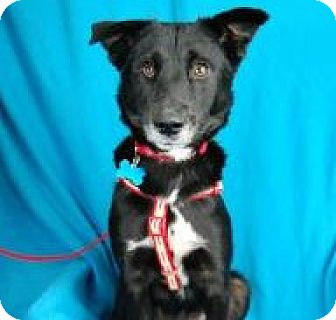 Retriever (Unknown Type) Mix Dog for adoption in Minneapolis, Minnesota - Tillie