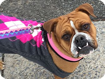 English Bulldog/Boxer Mix Dog for adoption in West Simsbury, Connecticut - Enchanting Erica
