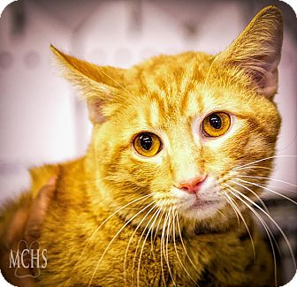 Domestic Shorthair Cat for adoption in Martinsville, Indiana - Garth