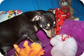Dachshund/Chihuahua Mix Dog for adoption in Greensboro, Georgia - Remington