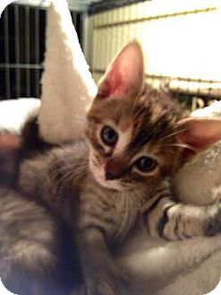 Domestic Shorthair Kitten for adoption in Orlando, Florida - Sophie