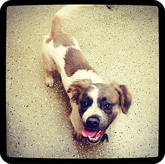Shih Tzu/Basset Hound Mix Dog for adoption in Grand Bay, Alabama - Lennon
