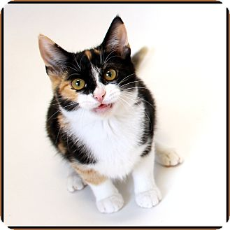 Domestic Shorthair Cat for adoption in Glendale, Arizona - Macchiato