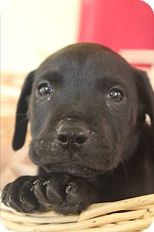 Labrador Retriever Mix Puppy for adoption in Waldorf, Maryland - Axle