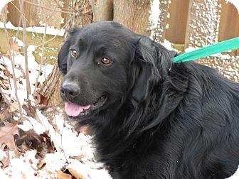 Great Pyrenees/Labrador Retriever Mix Dog for adoption in Newburgh, New York - Happy