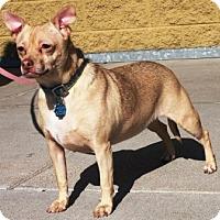 Adopt A Pet :: Zane - Gilbert, AZ