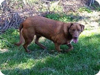 Pit Bull Terrier/Labrador Retriever Mix Dog for adoption in Marlinton, West Virginia - Cocoa--RESCUED!