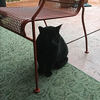 Adopt A Pet :: Blackie Bear - Modesto, CA