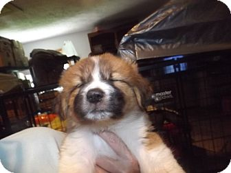 Great Pyrenees/German Shepherd Dog Mix Puppy for adoption in Quincy, Indiana - Boomer
